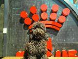 İstanbul Siyah Toy Poodle Yavrular