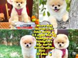 Safkan Boo Pomeranian
