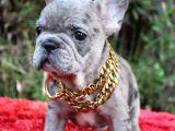 Renk Renk French Bulldog Yavruları
