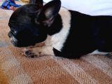Siyah Beyaz Çok Kompakt French Bulldog Dişi