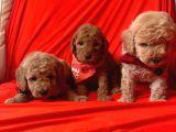 Toy Poodle Yavrularımız Dişiler Mevcut