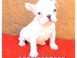Lekesi̇z Beyaz French Bulldog Yavrular