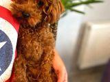 8 Aylik Di̇şi̇ Red Brow Toy Poodle