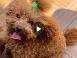 18 Aylik Di̇şi̇ Toy Poodle