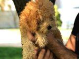 Ev Doğumu Dişi Red Toy Poodle