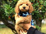 Toy Poodle Yavrularimiz Si̇zlerle