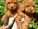 Toy Poodle Yavrular  ( Red, Red Brown, Apricot, Silver, Siyah)
