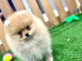 Erkek ve Dişi Pomeranian Boo