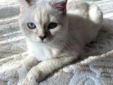 British Shorthair Silverpoint Ns11 4,5 Aylık Kedi