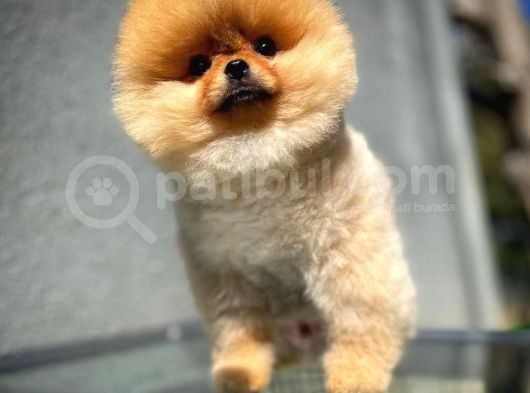 AA Kalite Safkan  Pomeranian Oğlumuz