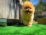 Gülen Surat Pomeranian Boo Oğlumuz Mike
