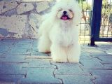 Tea Cup Maltese Terrier