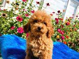 Muhteşem Red Toy Poodle Yavrularımız