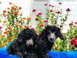 Çok Nadi̇r Si̇lver Toy Poodle Yavrularımız