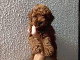 Red Poodle yavrularımız