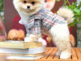 Çocuklarla En İyi Anlaşabılen Irk Pomeranian
