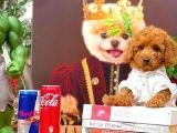 Safkan Toy Poodle Yavrumuz