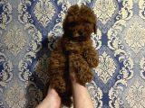 Erkek ve Dişi Toy Poodlar