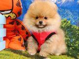 Safkan Pomeranian Teddy Bear Yavrular