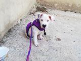 70 Günlük Aşılı Dogo Argentino Yavrumuz