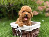 Dişi Erkek Red Brown Toy Poodle Yavrular