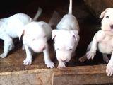 4 Dişi Dogo Argentino