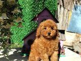 Irk Ve Sağlık Garantili Red Toy Poodle Yavruları