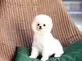 Secereli Safkan Pomeranian Boo