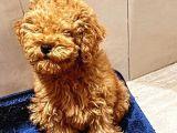 5 Aylık Erkek Güzeli Toy Poodle